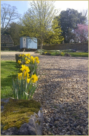 Daffodils in Spring 2013 at Cotswold Woollen Weavers