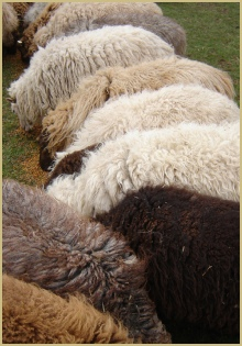 Naturally coloured sheep have naturally coloured wool!