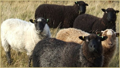 Naturally coloured sheep may safely graze